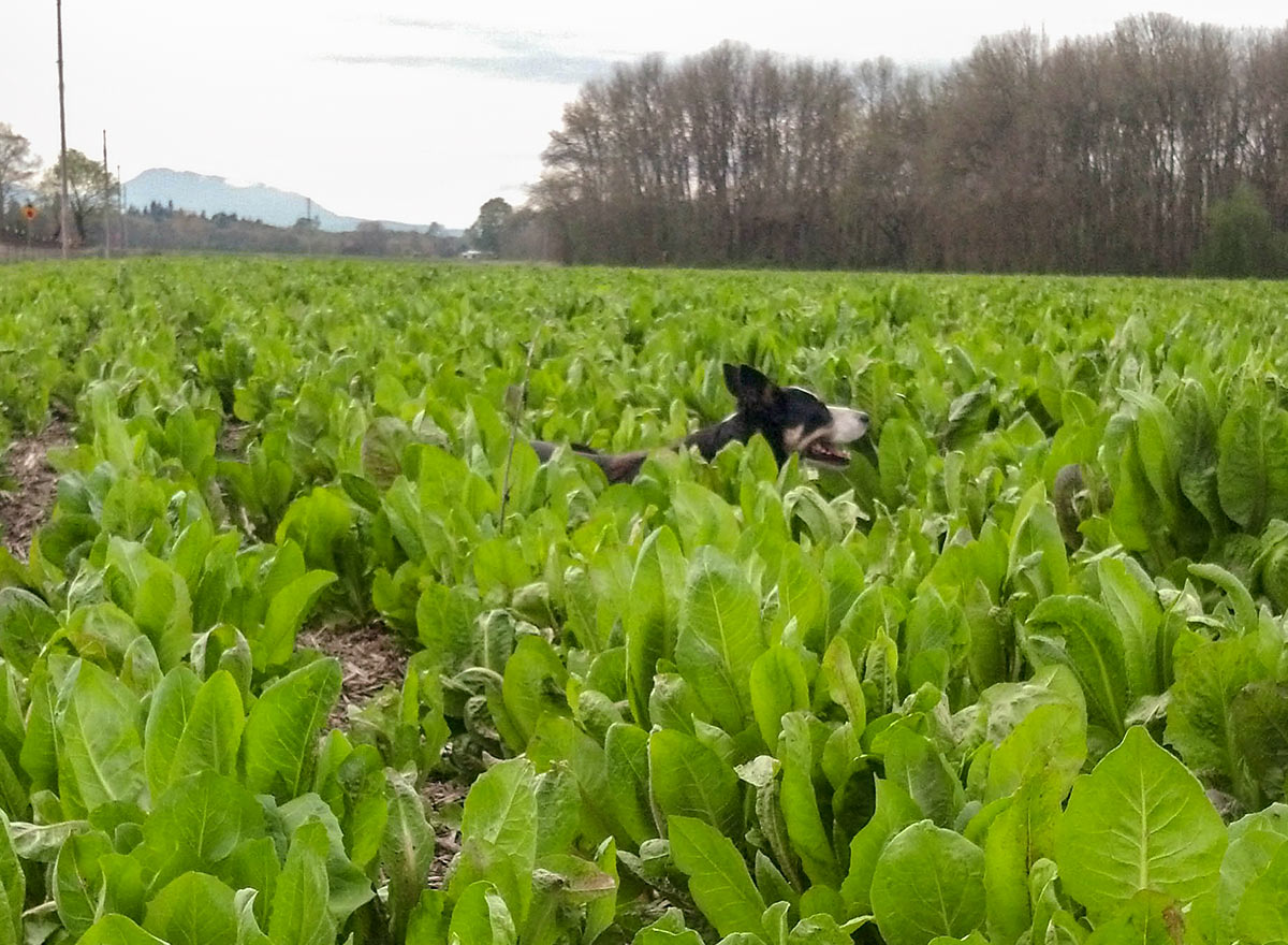 Cover Crop - African Cabbage - Advance Cover Crops