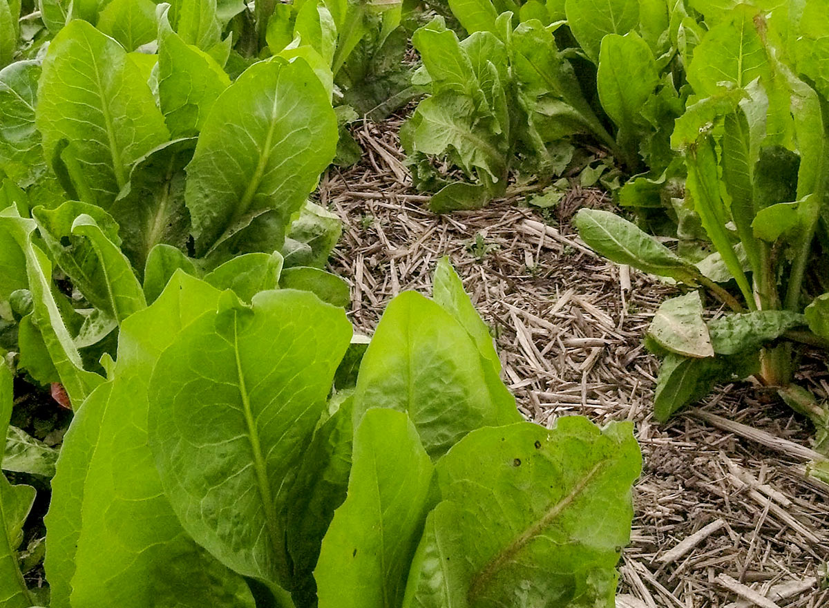 African Cabbage Cover Crop - Advance Cover Crops