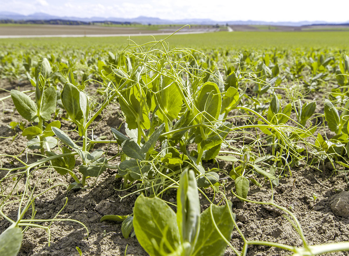 Cover Crop - Austrian Winter Peas - Advance Cover Crops