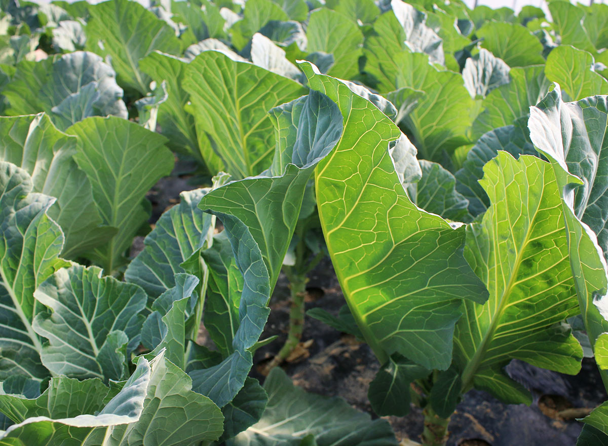 Bayou Kale Cover Crop - Advance Cover Crops