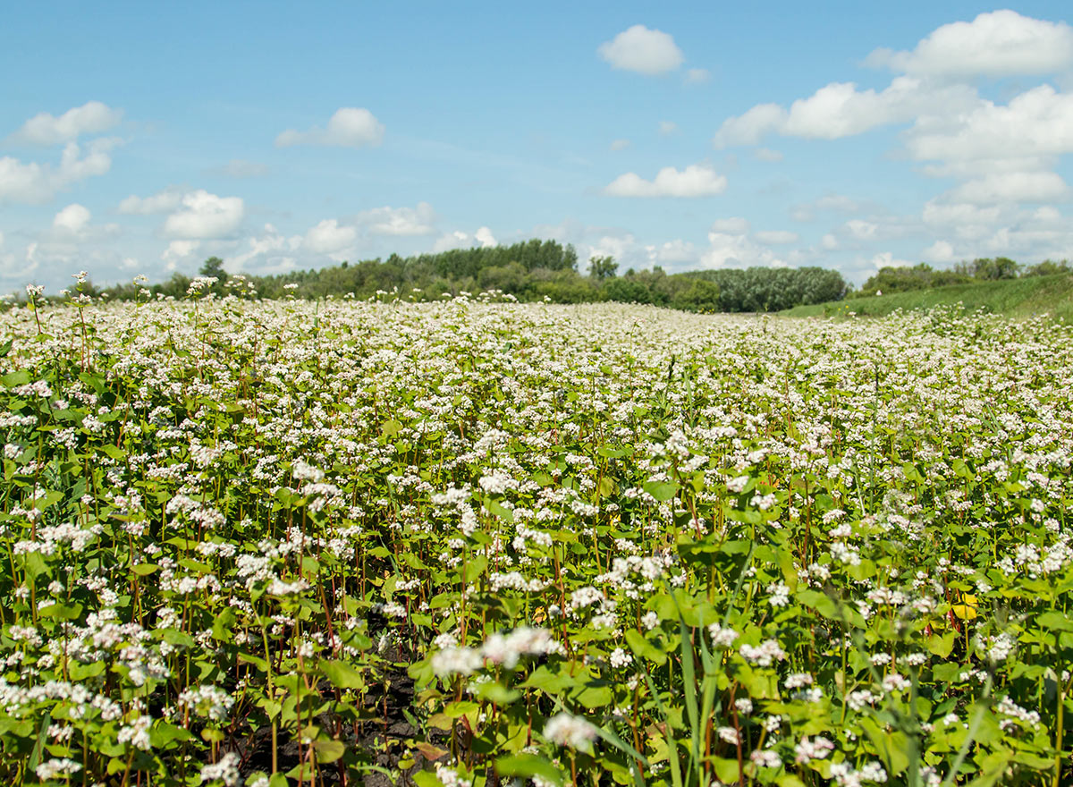 Cover Crop - Buckwheat - Advance Cover Crops