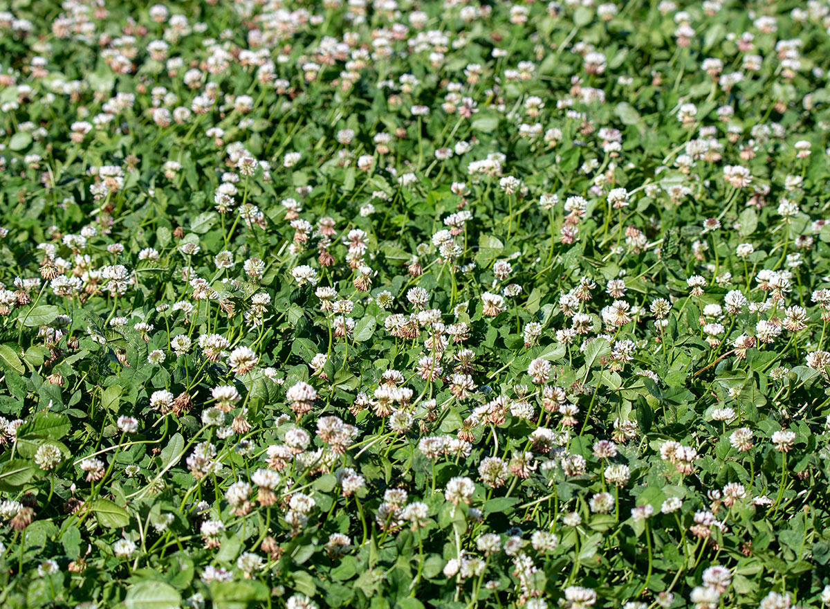 Cover Crop - Fixation Balansa - Advance Cover Crops