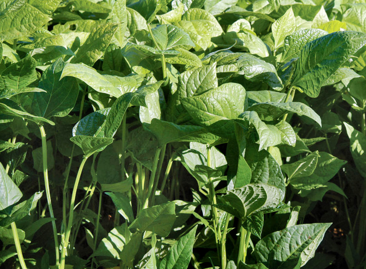 Cover Crop - Cover CropsIron And Clay Cowpeas - Advance Cover Crops
