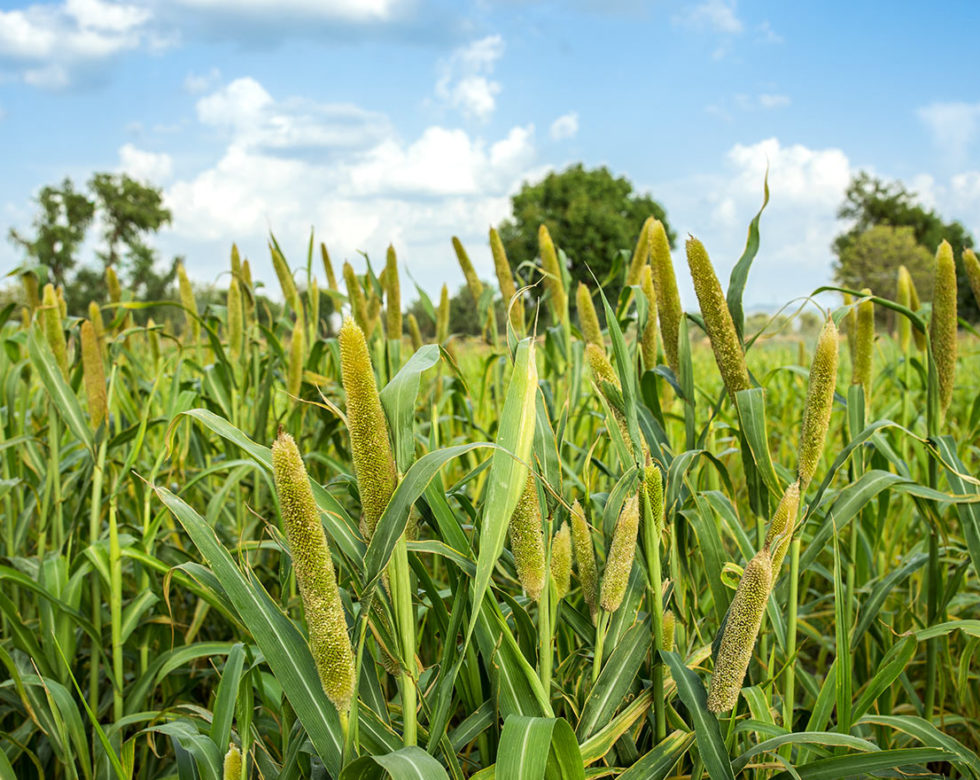 Cover Crop - Pearl Millet - Advance Cover Crops