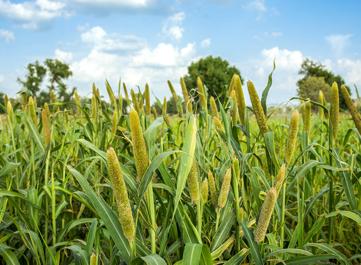 Pearl Millet Cover Crop - Advance Cover Crops