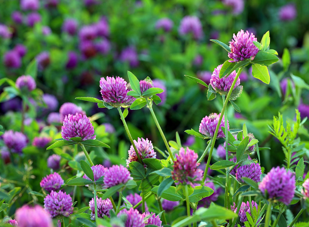 Cover Crop - Red Clover - Advance Cover Crops