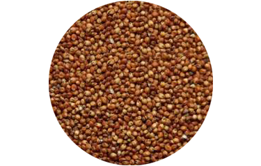 Cover Crop - Sorghum Sudangrass - Advance Cover Crops