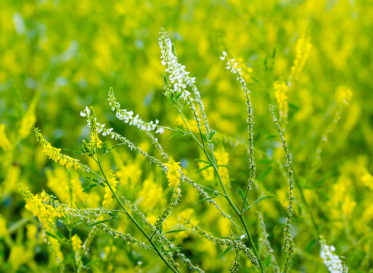 Cover Crop - Yellow Blossom Sweet Clover - Advance Cover Crops