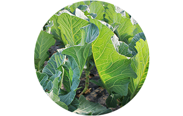 Cover Crop - Bayou Kale - Advance Cover Crops