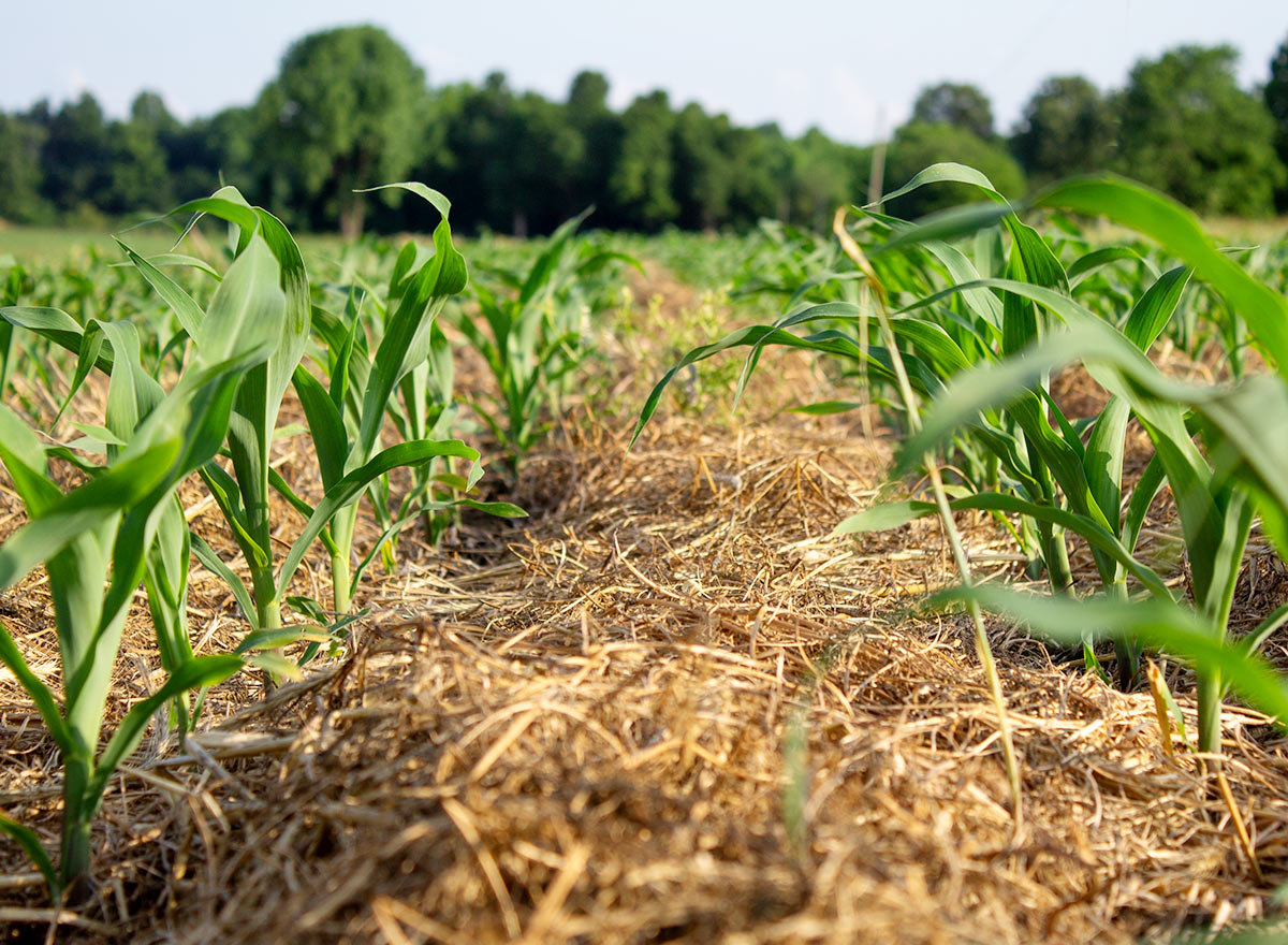 Corn Growing Through Cover Crops - Advance Cover Crops