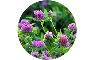 Red Clover Cover Crop - Advance Cover Crops