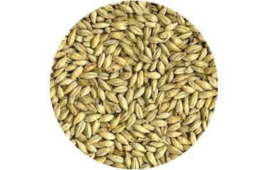 Barley Cover Crop - Advance Cover Crops